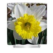 Winter Daffodil  Shower Curtain