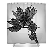 Winter Dormant Rose Of Sharon - Bw Shower Curtain