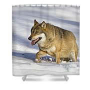 Wolf Canis Lupus Walking In Snow Shower Curtain