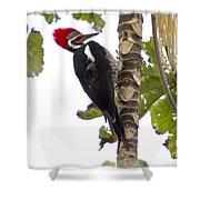 Woodpecker 1 Shower Curtain