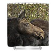 Yearling Calf On Alert Shower Curtain