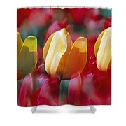 Yellow And Red Tulip Blooms Shower Curtain