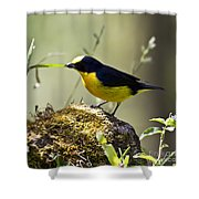Yellow-crowned Euphonia Shower Curtain