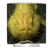 Yellow Frogfish Hunting, North Shower Curtain
