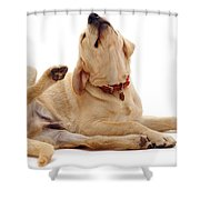 Yellow Labrador Scratching Shower Curtain