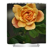 Yellow Rose Of Baden Shower Curtain