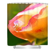 Yellow Rose Tipped In Pink Shower Curtain