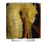Yellow Seahorse, Batam, Riau, Indonesia Shower Curtain
