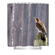 Yellow-shafted Flicker Posing Shower Curtain
