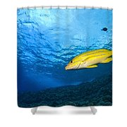 Yellowtail Snapper, Molokini Crater Shower Curtain