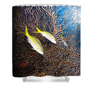 Yellowtail Snappers And Sea Fan, Belize Shower Curtain