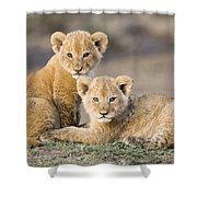 Young African Lion Cubs  Shower Curtain