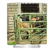 Young Calf In Fence Pen Near Barn Summer Maine Shower Curtain