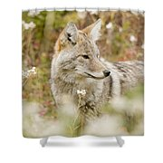 Young Coyote Canis Latrans In A Forest Shower Curtain