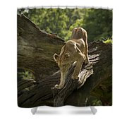 Young Lion Stalking Shower Curtain