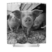 Young Pigs In A Snowy Pen. Property Shower Curtain