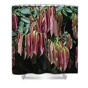 Young Red Leaves Lacking Chlorophyll Shower Curtain
