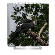 Young Swallow-tailed Kite Shower Curtain