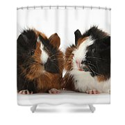 Young Tricolour Guinea Pigs Shower Curtain