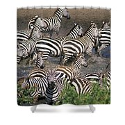 Zebra At Waterhole Shower Curtain