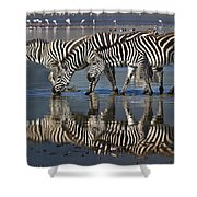 Zebras Drinking Ngorongoro Crater Tanzania Shower Curtain