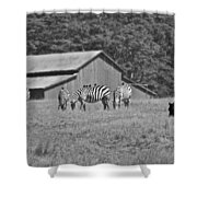 Zebras In San Simeon Shower Curtain