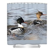 Red-breasted-merganser-ducks Shower Curtain