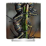 Romalea Microptera Hierarchy Shower Curtain