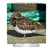 Sleepy Turnstone At Padstow Harbour Shower Curtain
