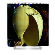 Voluta Amphora Seashell Shower Curtain