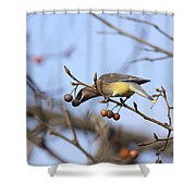 4427 - Cedar Waxwing Shower Curtain