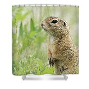 A European Ground Squirrel Standing In A Meadow In Spring Shower Curtain