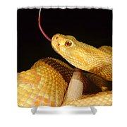 Albino Brazilian Rattlesnake Shower Curtain