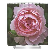 Alnwick Rose 1830 Shower Curtain