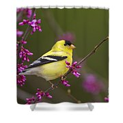 American Goldfinch In Redbud Shower Curtain
