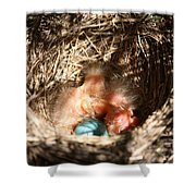 American Robin Nestlings Shower Curtain