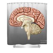 Anatomy Of The Brain, Illustration Shower Curtain