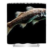 Atlantic Pelagic Basslet Shower Curtain