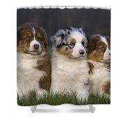 Australian Shepherd Puppies Shower Curtain