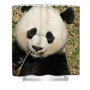 Bamboo Sticking Out Of The Mouth Of A Giant Panda Bear Shower Curtain