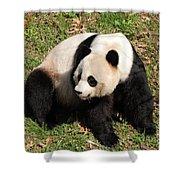 Beautiful Giant Panda Bear In The Wild Shower Curtain