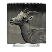 Big Horn Sheep Shower Curtain by Barbara Schultheis