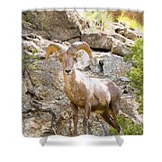 Bighorn Sheep In The San Isabel National Forest Shower Curtain