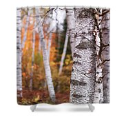 Birch Trees Fall Scenery Shower Curtain