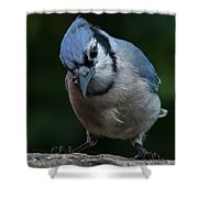 Birds From Heaven - Bluejay Shower Curtain