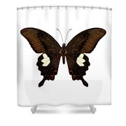 Black And Brown Butterfly Species Papilio Nephelus Shower Curtain