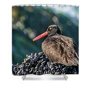 Black Oystercatcher Shower Curtain