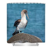 Blue-footed Booby On Rock Shower Curtain
