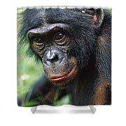 Bonobo Pan Paniscus Portrait Shower Curtain
