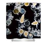 Brine Shrimp Artemia Salina, Lm Shower Curtain